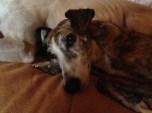 adopcion, collares martingale, galgos, perros, galicia