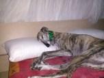 Asturias, cachorros, galgos, adopciòn