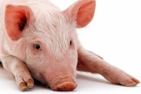 pig with hooves