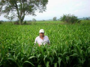 Chon in growing sorgo