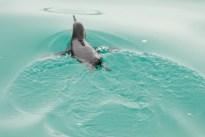 penguin swimming 20130706