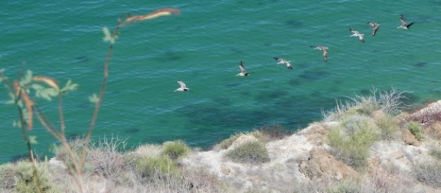 A line of pelicans coming in for a landing.