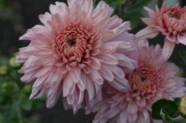 koreiskaya chrizantema 2