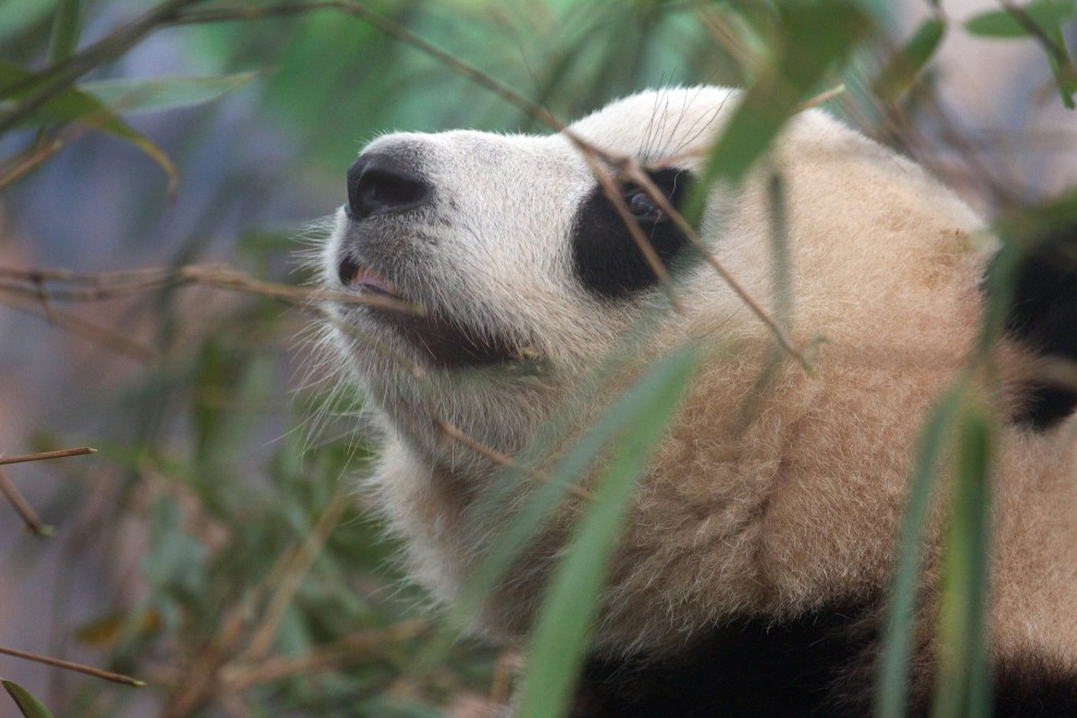 A Giant Panda in an enclosure at the Chengdu Panda Breeding Center, in south-west China.