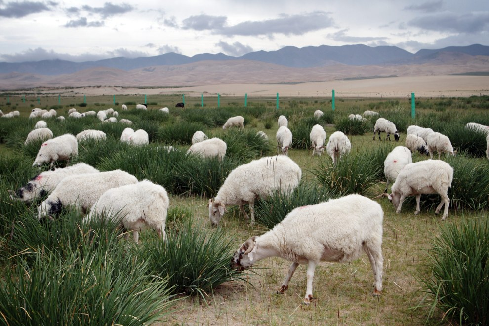 A flock of sheep belonging to a local farmer graze near Qinghai Lake.