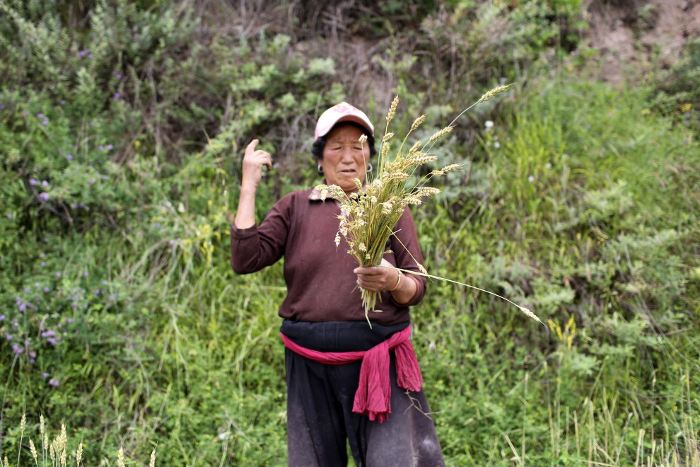 """A Tibetan woman collects corn in the mountains of Aba. As temperatures rise on the plateau, communities living on the """"roof of the world"""" will be some of the first to feel the effects."""