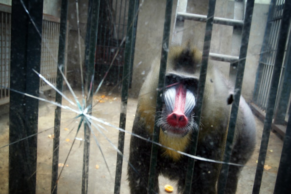 A baboon in an enclosure in Wuhan zoo.