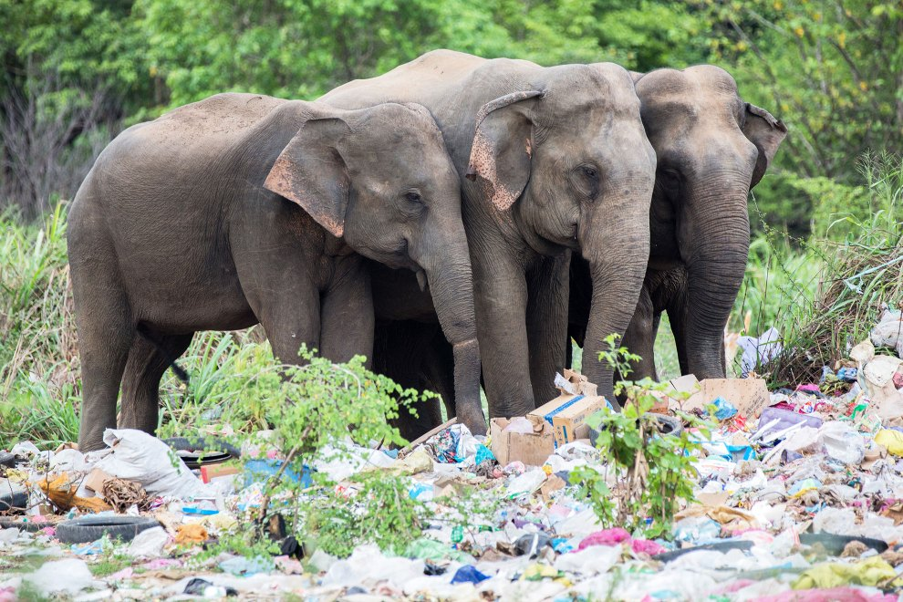 Wild Sri Lankan elephants search for food in a dumpsite on the outskirts of a small town bordering the Wasgamuwa National Park. As their habitats become more fragmented, wild elephants are increasingly forced to venture into areas where people live. This has dramatically increased the incidence of human-elephant conflict, which results in dangerous and often fatal encounters.