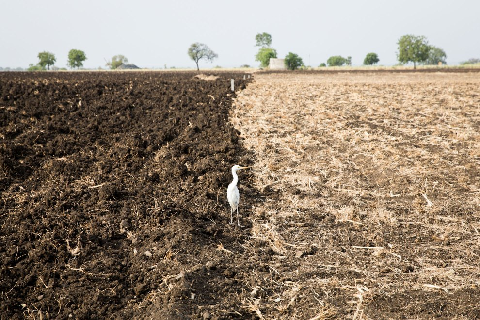 A bird stands on a drought-stricken field near the city of Latur.