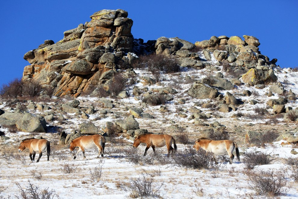 A small herd of takhi graze on the frosted hills inside the Hustai national park.