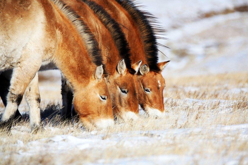 Three 'takhi', wild Mongolian horses, graze on the frosted grasslands of the Hustai National Park in central Mongolia.