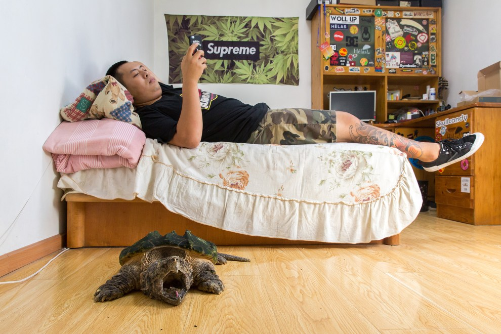 "Liu Zhaobei, 25, lies in his bedroom with an alligator snapping turtle (Macrochelys temminckii ). Listed by the IUCN as 'vulnerable' in the wild, the species is typically found in the southeastern states of the United States. Liu began collecting animals in his childhood and now has over thirty different frogs, three alligator snapping turtles and numerous snakes and turtles. ""It's obvious it [collecting exotic pets] is becoming more popular. Even at my university there are more course about breeding exotic pets."""