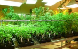 Marijuana grown at University of Mississippi for US government.