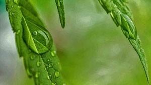 medical necessity defense cannabis-dew-300