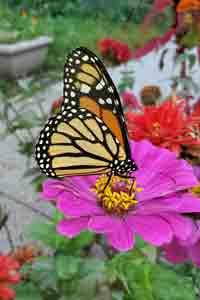 butterfly decrim flowers