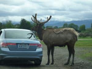 Bull elk begging.