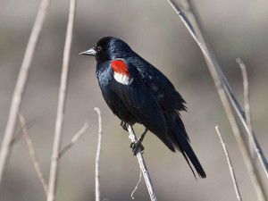tricolored blackbird image