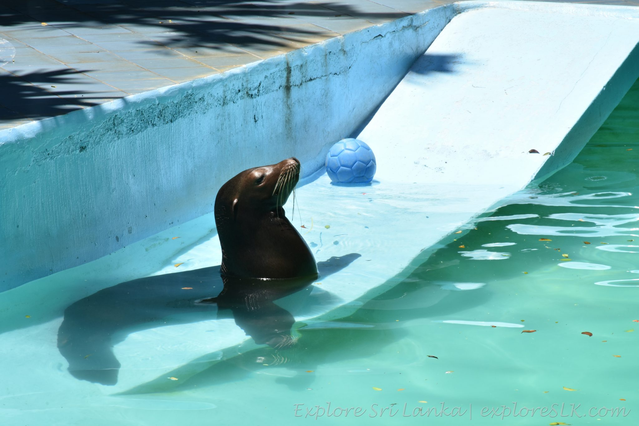 Sea lion with his ball