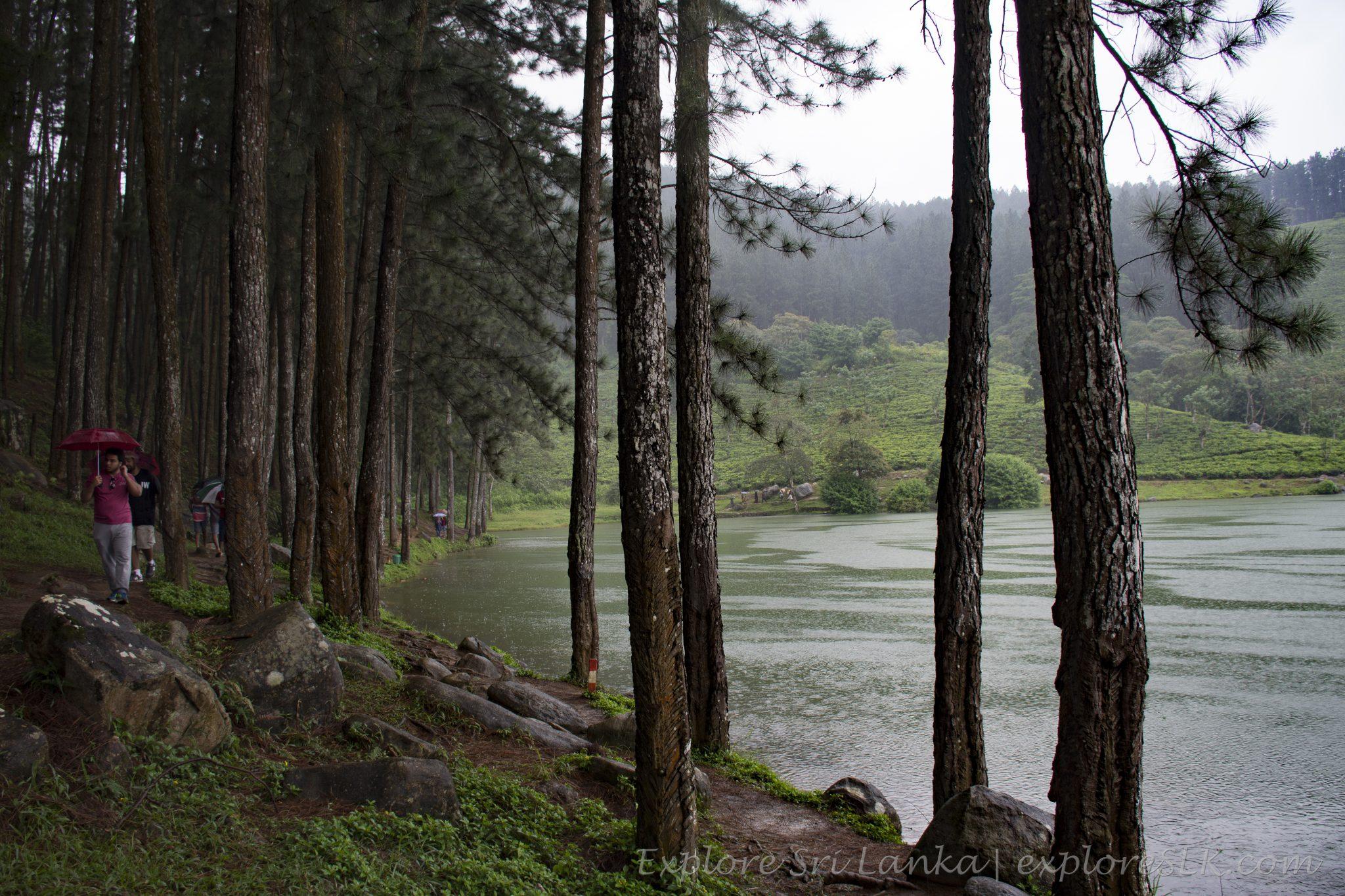 pine cover at Sembuwatta Lake