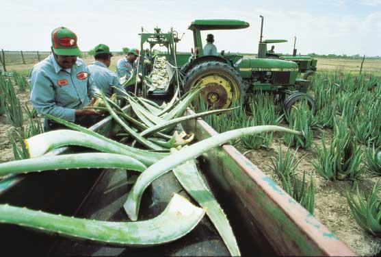 flp aloe vera harvesting