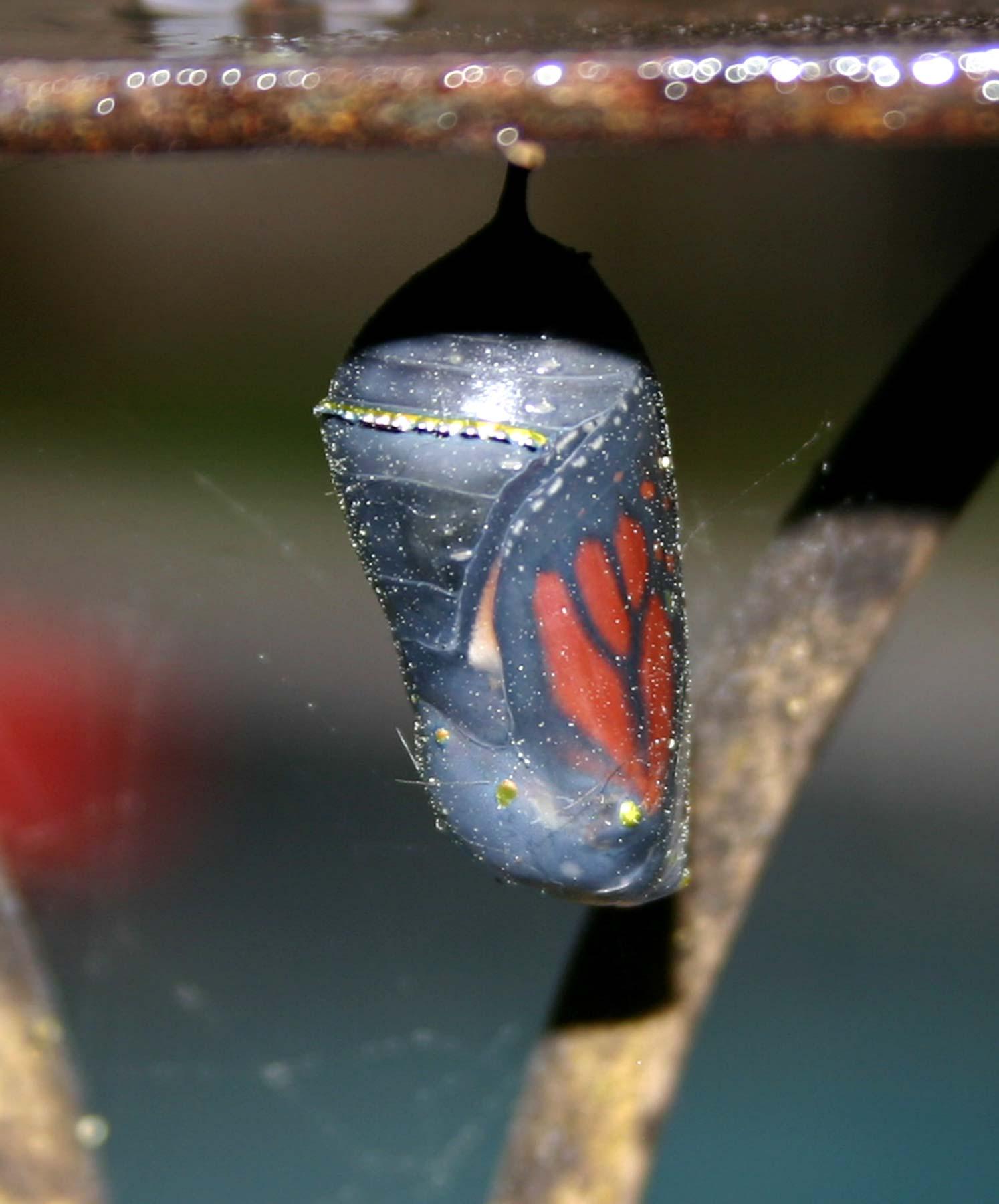 Butterfly in pupa