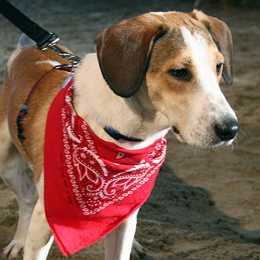 Daniel the Beagle, who inspired 'Daniel's Law'
