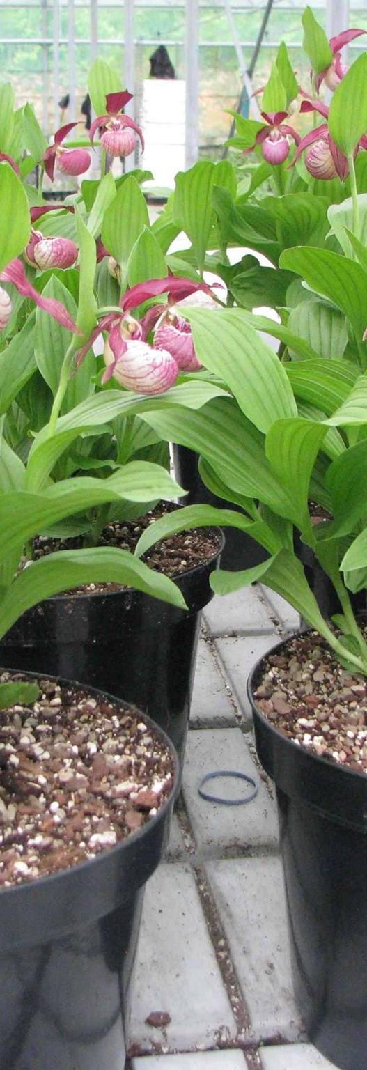 Commandez une orchidée Phytesia