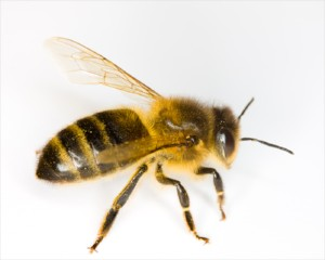An Africanized honey bee
