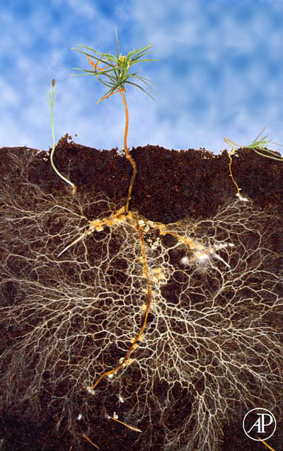 Mycorrhizal Fungi increases nutrient uptake and allows plants to communicate with each other!