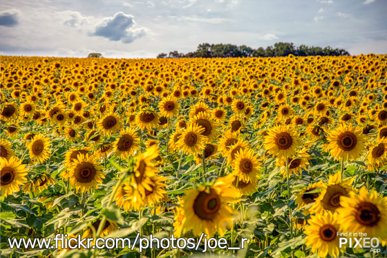 Clear Meadows Farms Field of Sunflowers by Joe Russo
