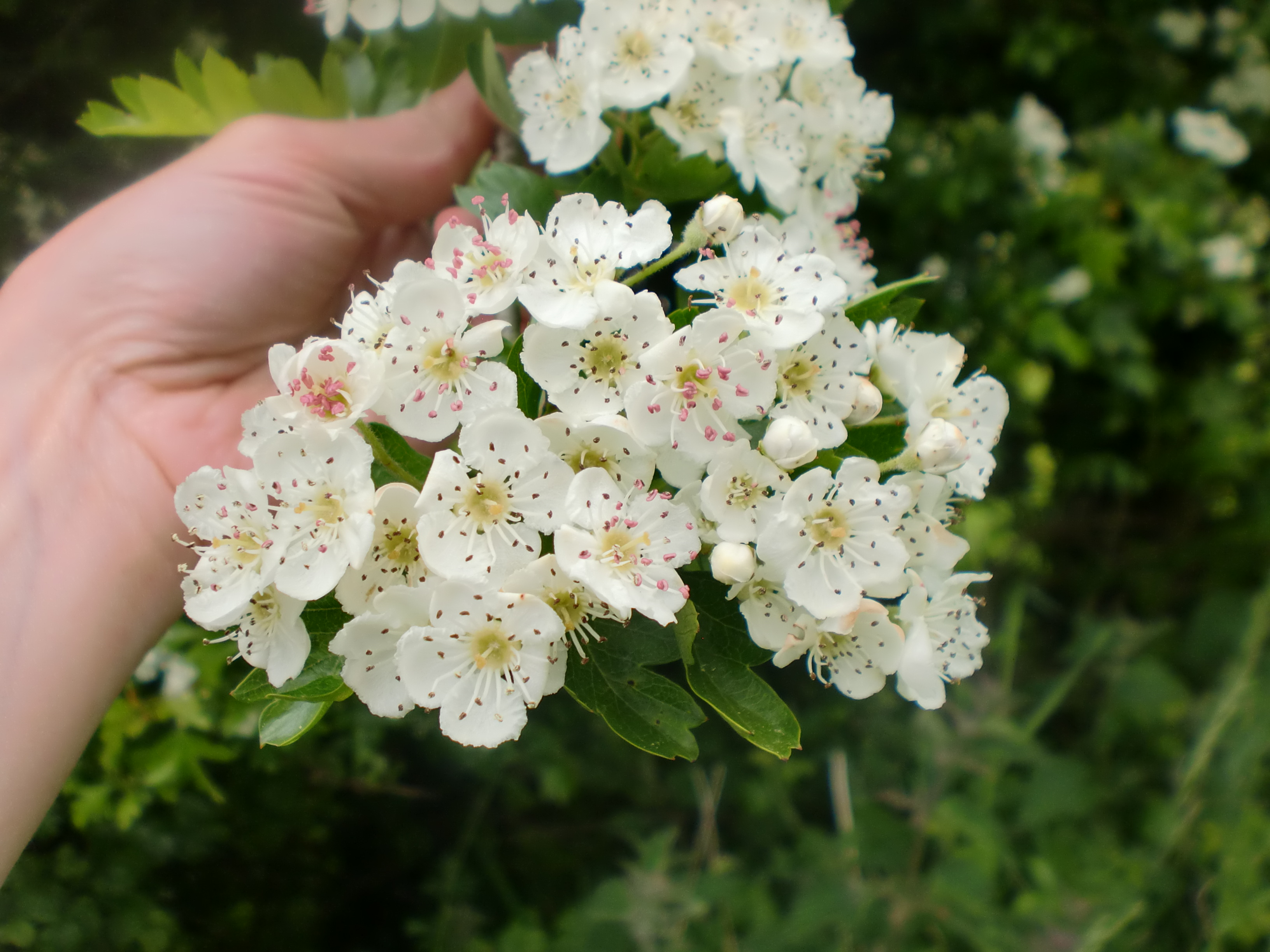 Hawthorn Flower Syrup Food Fun And Families