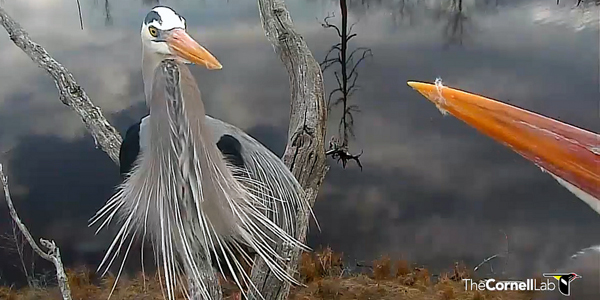 Heron courtship begins in Sapsucker Woods