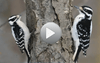 Watch our free series of birding ID videos, Inside Birding