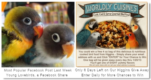 Visit Windy City Parrot on Facebook Bird 2 Young Lovebirds Fishers and Black Masked