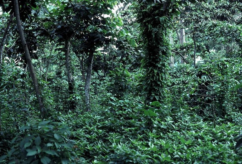 A picture of a typical shade-grown coffee farm, with trees of varying heights and species, and coffee plants discretely tucked among them in the shade.