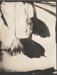 """""""Tulip Shadow"""" © Sarah Lycksten. Approx. 4x5"""" handcrafted alternative process photograph (silver emulsion lith print from glass wet plate negative). Signed original print offered by GALLERY5X7 at $250."""