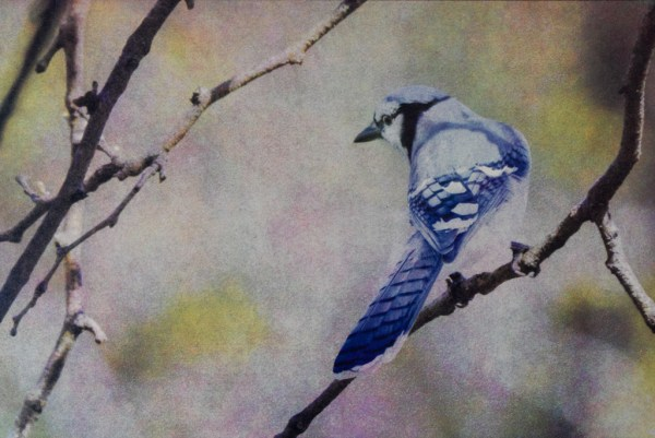 """""""Blue Jay"""" © Andy Kraushaar. Approx. 8x12"""" (20.3x30.5cm) handcrafted alternative process photograph (tri-color gum bichromate over cyanotype) printed on Hahnemuhle Platinum Rag. GALLERY5X7 offers this signed, original print at $500."""