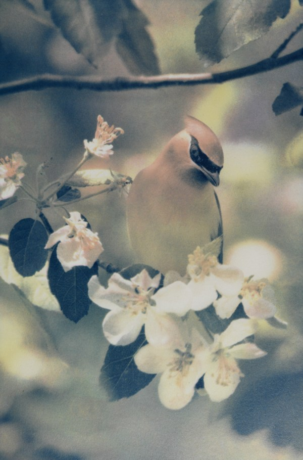 """""""Cedar Waxwing"""" © Andy Kraushaar. Approx. 8x12"""" (20.3x30.5cm) handcrafted alternative process photograph (tri-color gum bichromate over cyanotype) printed on Hahnemuhle Platinum Rag. GALLERY5X7 offers this signed, original print at $500."""