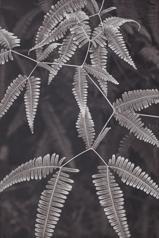 """Fern Study Island of Hawaii"" © Tom Wise. Fern Study from Hawaii Tropical Bio-reserve and Garden, Island of Hawaii. Approx. 6x9"" (15.2x22.9cm) handcrafted alternative process photograph (palladium and gold-toned kallitype). GALLERY5X7 offers this signed, original print at $250."