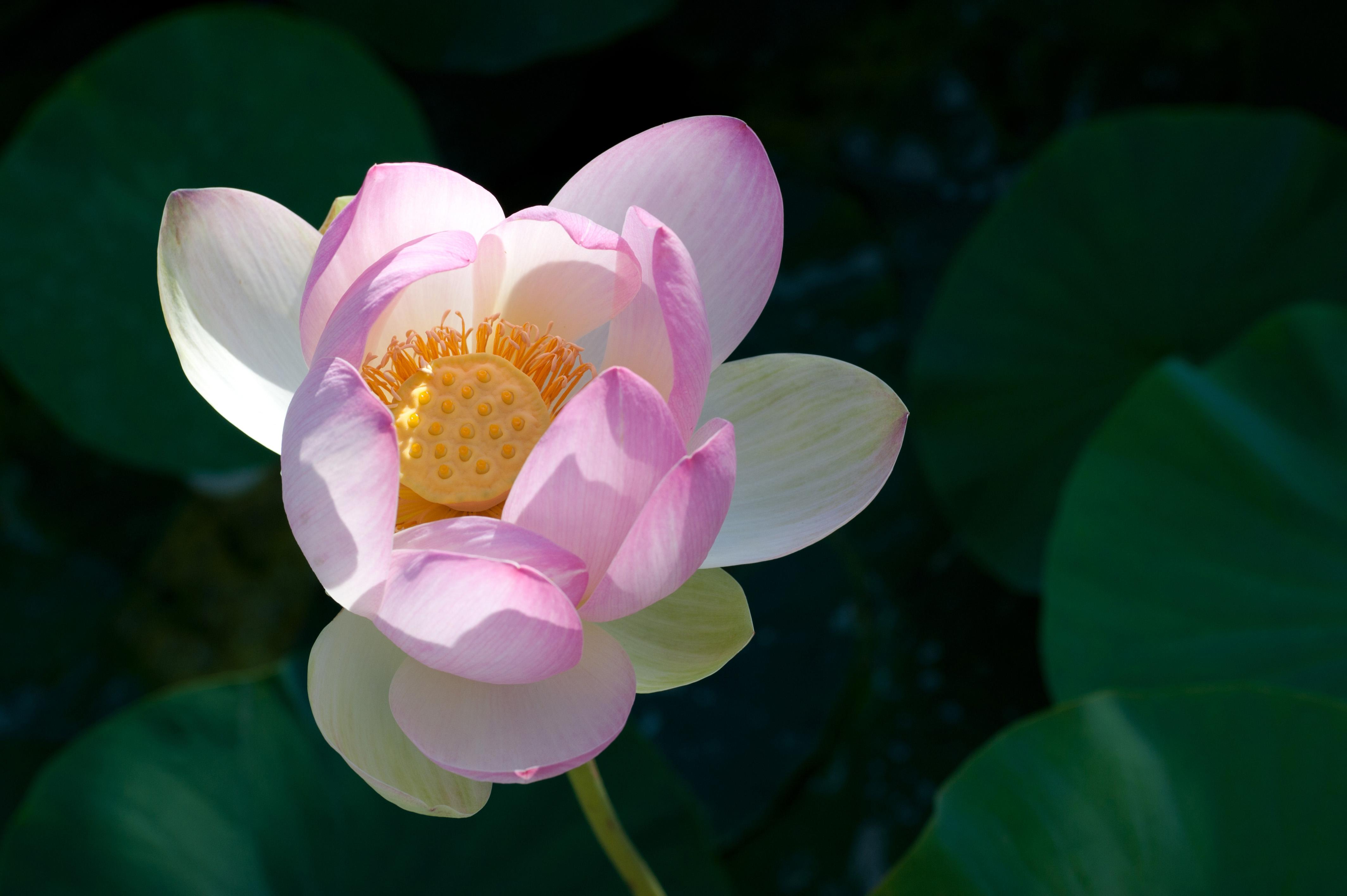 Flower Lotus Nature Macro Fine Picturesque Picturesboss