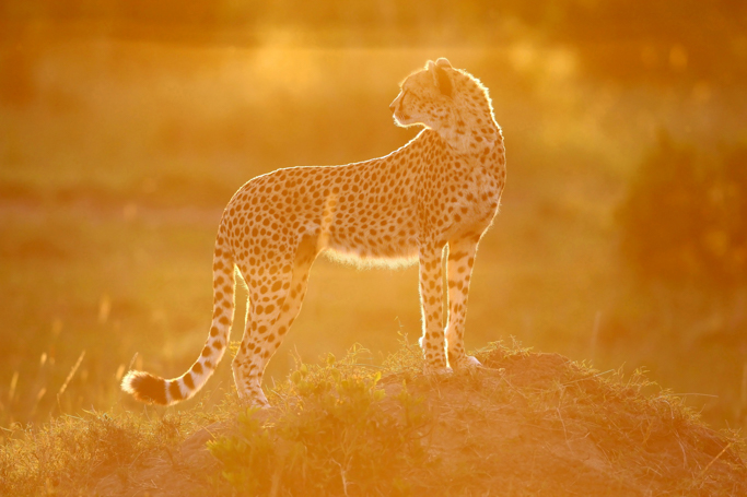 Cheetahs at sunset
