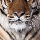 Tiger's portrait