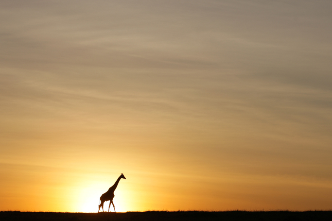 giraffe at sunrise