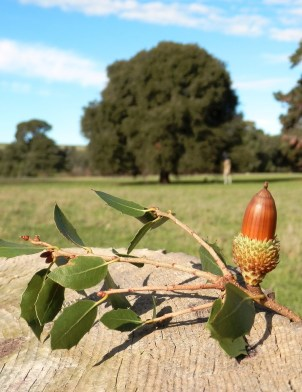 Gallipoli Oak and acorn