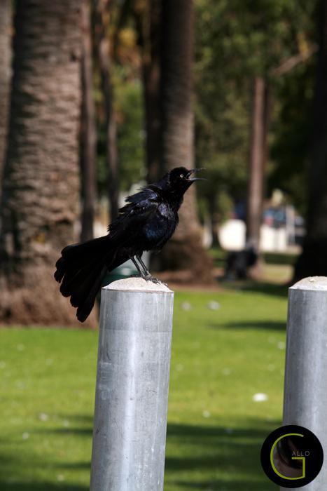 Black-Bird-2