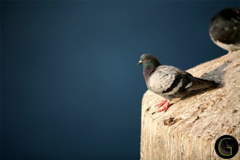 Dove (3)