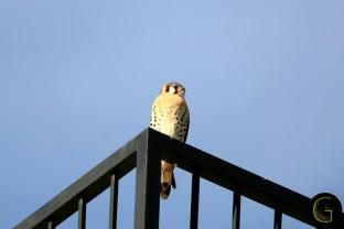 Falcon-Prairie-1