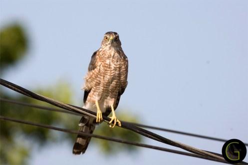 Hawk Copper Head (3)