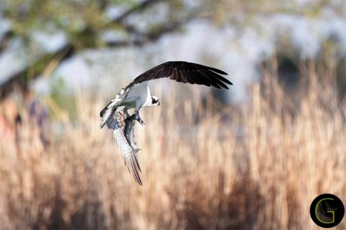 Hawk Osprey-5 (1)