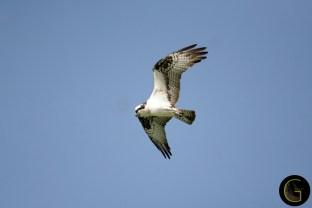 Hawk Osprey-5 (3)